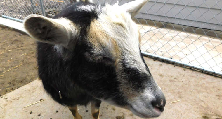 Fun Facts about Goats!